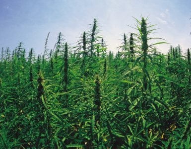 cannabis-field